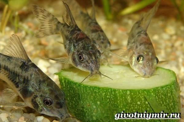 Коридорас-рыба-Описание-особенности-уход-и-цена-рыбы-коридорас-10