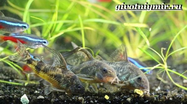 Коридорас-рыба-Описание-особенности-уход-и-цена-рыбы-коридорас-3