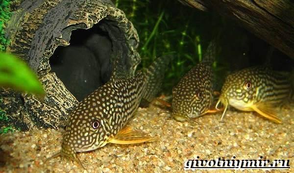 Коридорас-рыба-Описание-особенности-уход-и-цена-рыбы-коридорас-5