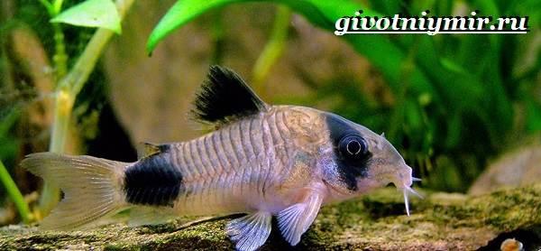 Коридорас-рыба-Описание-особенности-уход-и-цена-рыбы-коридорас-6