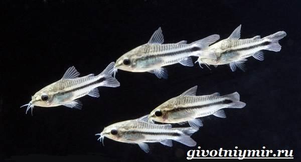 Коридорас-рыба-Описание-особенности-уход-и-цена-рыбы-коридорас-7