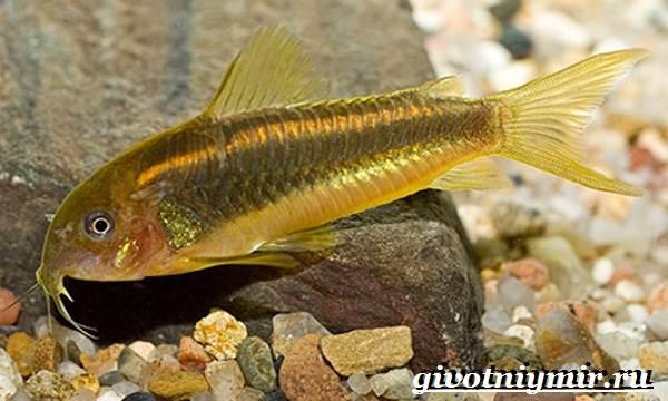 Коридорас-рыба-Описание-особенности-уход-и-цена-рыбы-коридорас-8