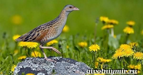 Коростель-птица-Образ-жизни-и-среда-обитания-птицы-коростель-1