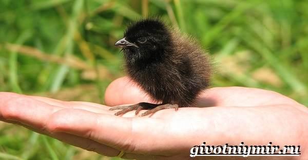 Коростель-птица-Образ-жизни-и-среда-обитания-птицы-коростель-10