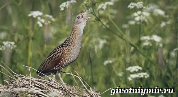 Коростель-птица-Образ-жизни-и-среда-обитания-птицы-коростель-2
