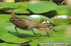 Коростель птица. Образ жизни и среда обитания птицы коростель