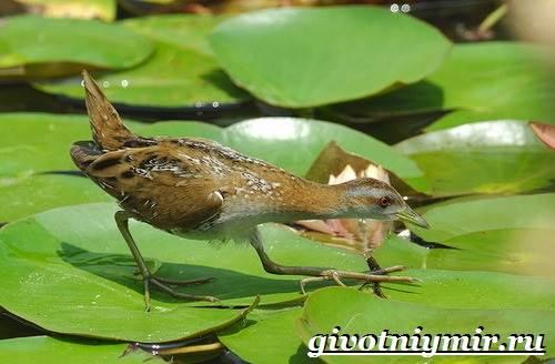 Коростель-птица-Образ-жизни-и-среда-обитания-птицы-коростель-3