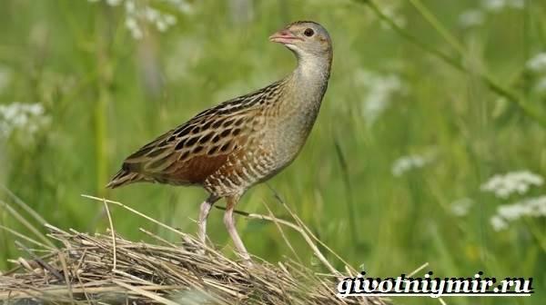 Коростель-птица-Образ-жизни-и-среда-обитания-птицы-коростель-4