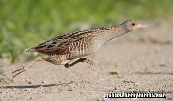 Коростель-птица-Образ-жизни-и-среда-обитания-птицы-коростель-5