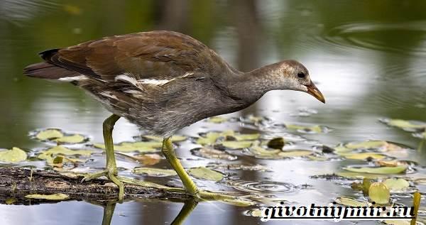 Коростель-птица-Образ-жизни-и-среда-обитания-птицы-коростель-6
