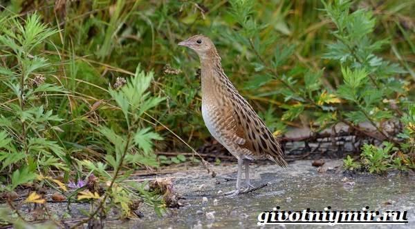 Коростель-птица-Образ-жизни-и-среда-обитания-птицы-коростель-7