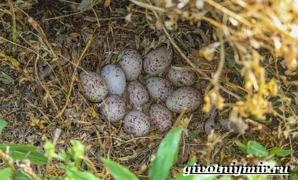 Коростель-птица-Образ-жизни-и-среда-обитания-птицы-коростель-9