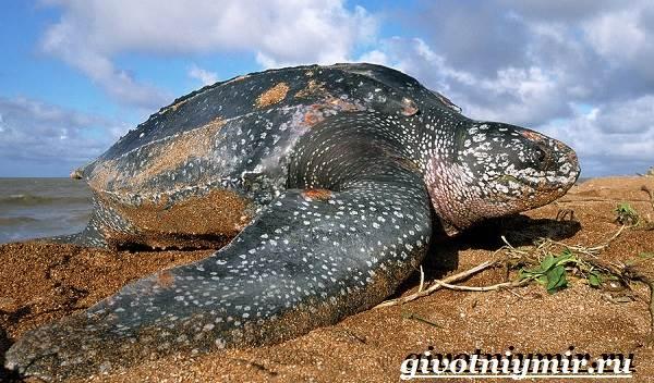 Кожистая-черепаха-образ-жизни-и-среда-обитания-кожистой-черепахи-1