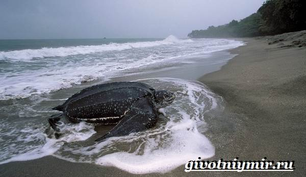 Кожистая-черепаха-образ-жизни-и-среда-обитания-кожистой-черепахи-4