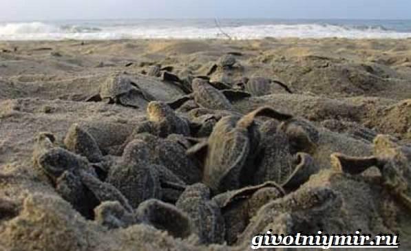 Кожистая-черепаха-образ-жизни-и-среда-обитания-кожистой-черепахи-7