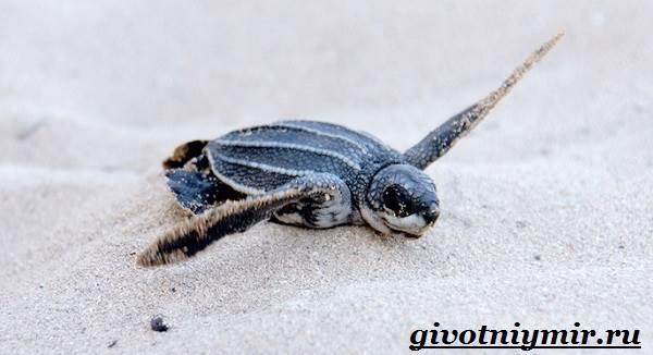 Кожистая-черепаха-образ-жизни-и-среда-обитания-кожистой-черепахи-8