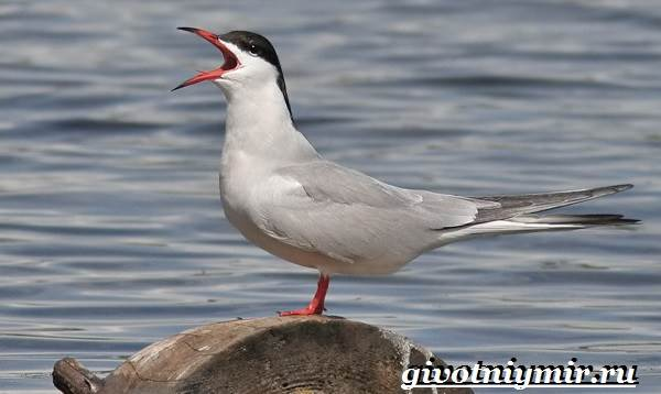 Крачка-птица-Образ-жизни-и-среда-обитания-птицы-крачки-1