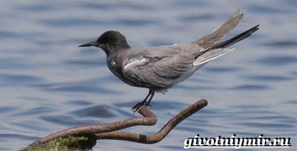 Крачка-птица-Образ-жизни-и-среда-обитания-птицы-крачки-2