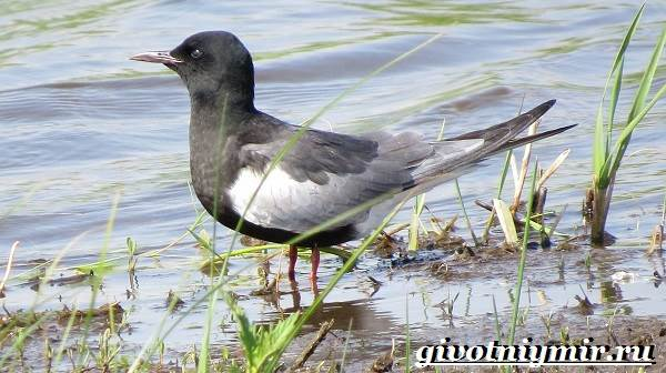 Крачка-птица-Образ-жизни-и-среда-обитания-птицы-крачки-3