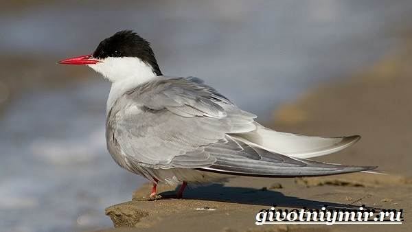 Крачка-птица-Образ-жизни-и-среда-обитания-птицы-крачки-4