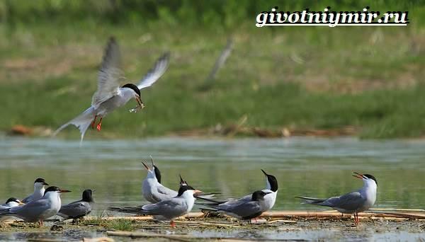 Крачка-птица-Образ-жизни-и-среда-обитания-птицы-крачки-5