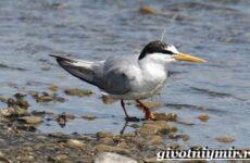 Крачка птица. Образ жизни и среда обитания птицы крачки