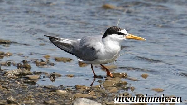 Крачка-птица-Образ-жизни-и-среда-обитания-птицы-крачки-6