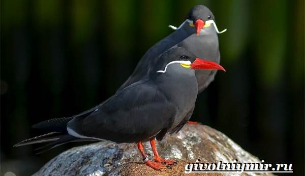 Крачка-птица-Образ-жизни-и-среда-обитания-птицы-крачки-7