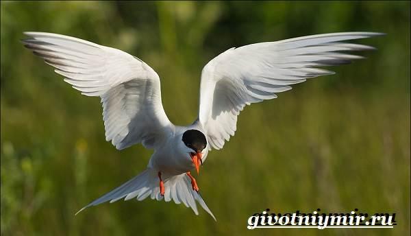 Крачка-птица-Образ-жизни-и-среда-обитания-птицы-крачки-8