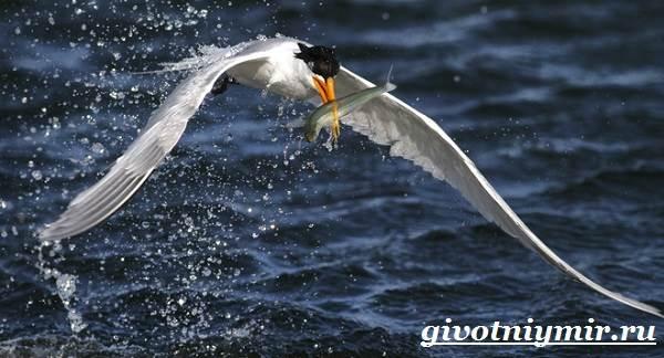 Крачка-птица-Образ-жизни-и-среда-обитания-птицы-крачки-9