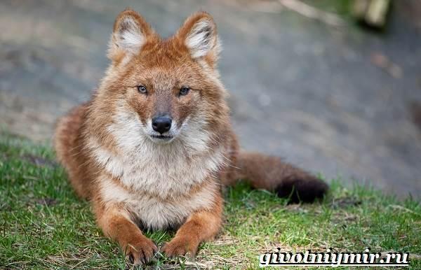 Красный-волк-Образ-жизни-и-среда-обитания-красного-волка-1