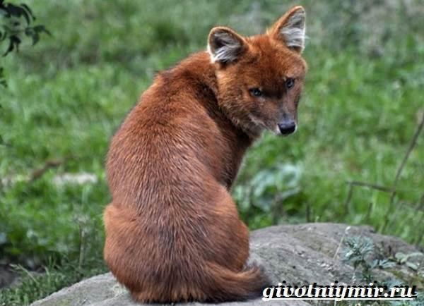 Красный-волк-Образ-жизни-и-среда-обитания-красного-волка-3