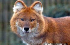 Красный волк. Образ жизни и среда обитания красного волка