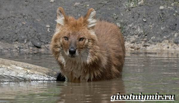 Красный-волк-Образ-жизни-и-среда-обитания-красного-волка-5