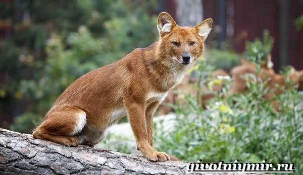 Красный-волк-Образ-жизни-и-среда-обитания-красного-волка-6