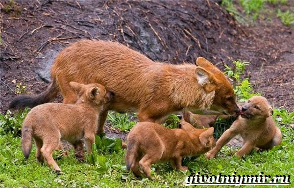 Красный-волк-Образ-жизни-и-среда-обитания-красного-волка-7
