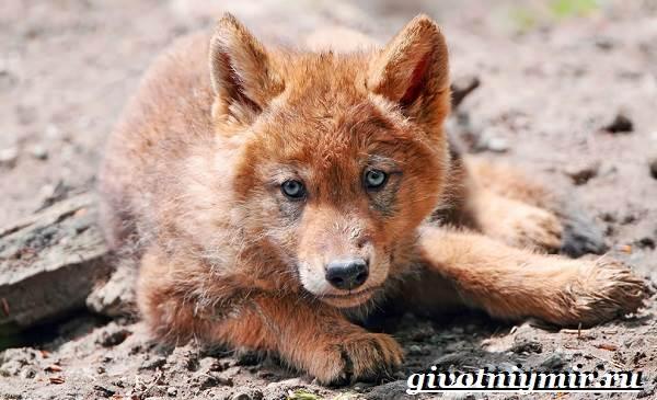 Красный-волк-Образ-жизни-и-среда-обитания-красного-волка-8