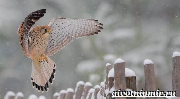 Кречет-птица-Образ-жизни-и-среда-обитания-птицы-кречет-1