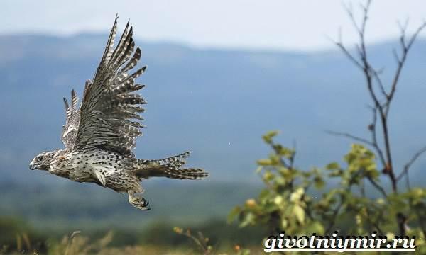 Кречет-птица-Образ-жизни-и-среда-обитания-птицы-кречет-2