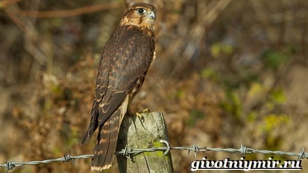 Кречет-птица-Образ-жизни-и-среда-обитания-птицы-кречет-3