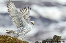 Кречет птица. Образ жизни и среда обитания птицы кречет