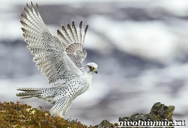 Кречет-птица-Образ-жизни-и-среда-обитания-птицы-кречет-7