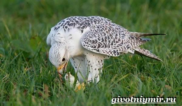 Кречет-птица-Образ-жизни-и-среда-обитания-птицы-кречет-8