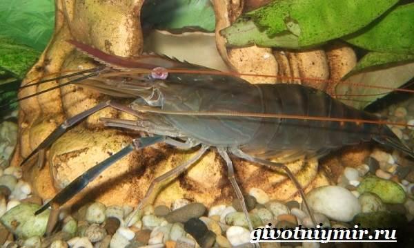 Креветка-моллюск-Образ-жизни-и-среда-обитания креветки-1
