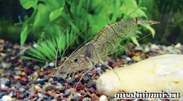 Креветка-моллюск-Образ-жизни-и-среда-обитания креветки-2