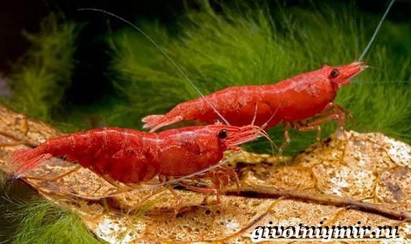 Креветка-моллюск-Образ-жизни-и-среда-обитания креветки-9