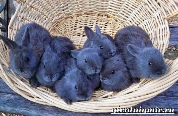 Кролик-породы-венский-голубой-Описание-уход-и-питание-кролика-венский-голубой-2