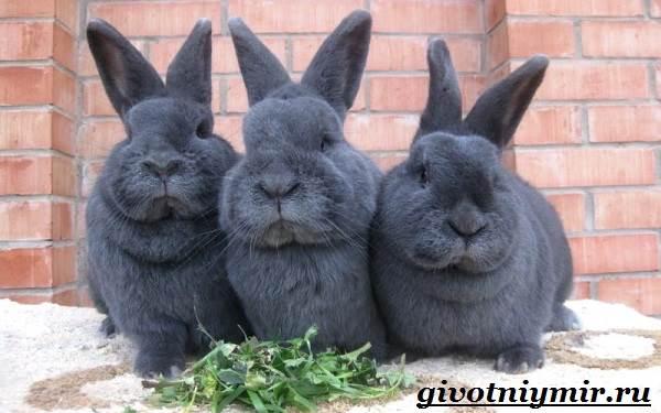 Кролик-породы-венский-голубой-Описание-уход-и-питание-кролика-венский-голубой-3