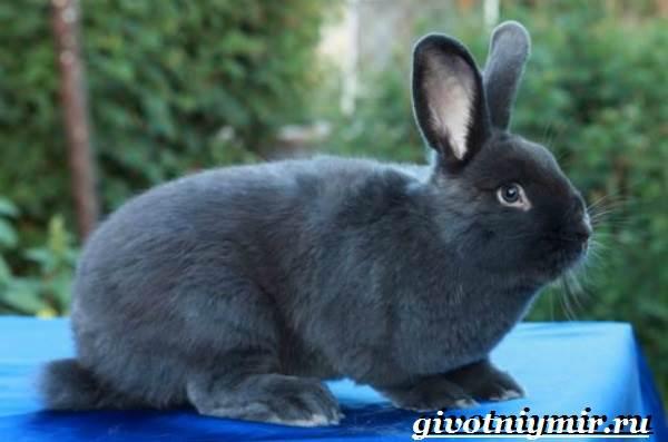 Кролик-породы-венский-голубой-Описание-уход-и-питание-кролика-венский-голубой-4