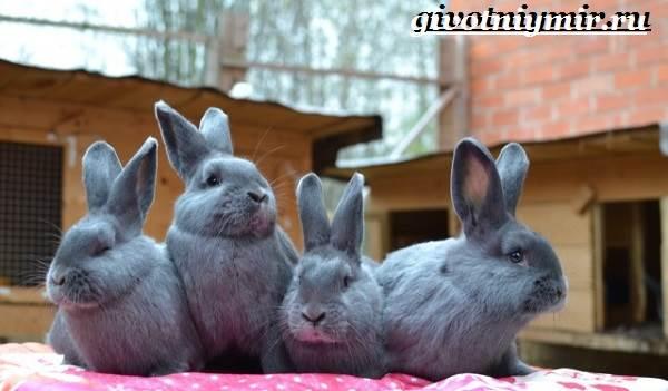 Кролик-породы-венский-голубой-Описание-уход-и-питание-кролика-венский-голубой-5